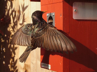 Bushnell captures a Starling on the garden tit box