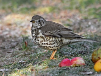 Thrushes return to gardens