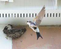 16th Mar Help needed for House Martins