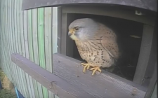 Kestrel Cam | gardenature.co.uk