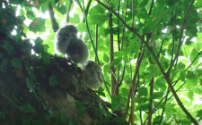 Little owls video |gardenature.co.uk