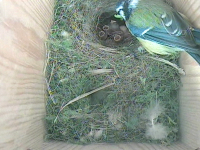 Hungry blue tit chicks