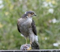 Sparrowhawks absent from gardens this winter