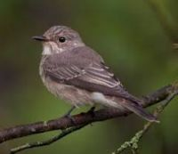 Spotted Flycatchers on the increase