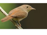 The Wren is becoming much more commonly seen