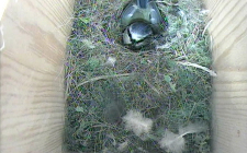 Hungry blue tit box chicks