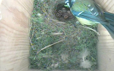 tit feeding chicks bird box cam