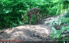 Bushnell deer. gardenature.co.uk