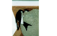 house martins, gardenature.co.uk