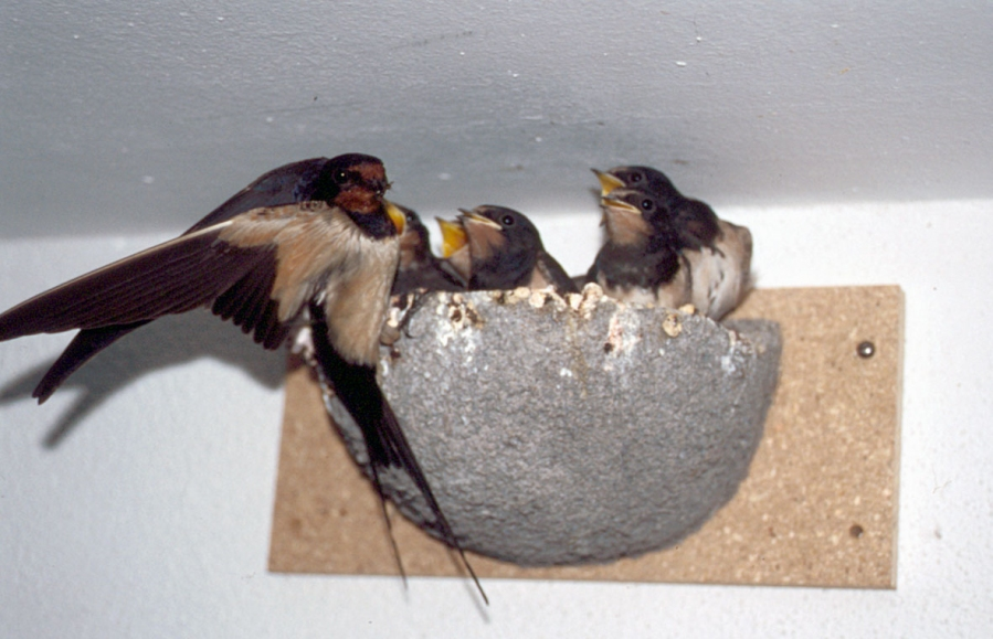 schwegler swallow nest - gardenature.co.uk