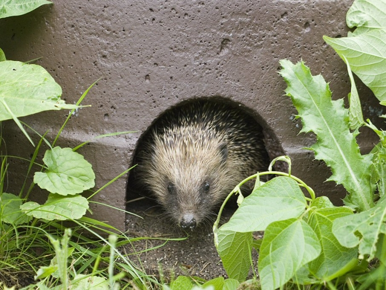 schwegler Hedgehog |gardenature.co.uk