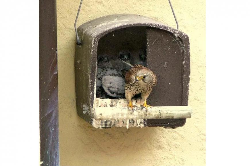 Kestrel nesting boxes   gardenature.co.uk