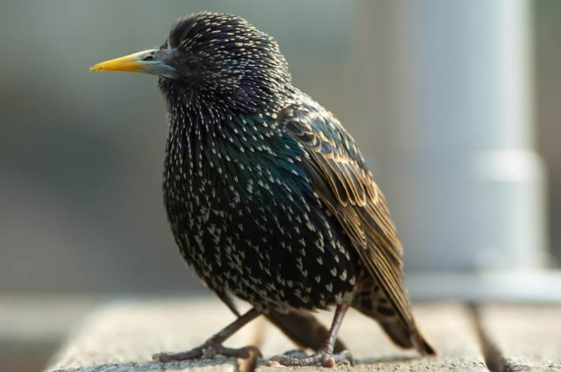 Starling. gardenature.co.uk