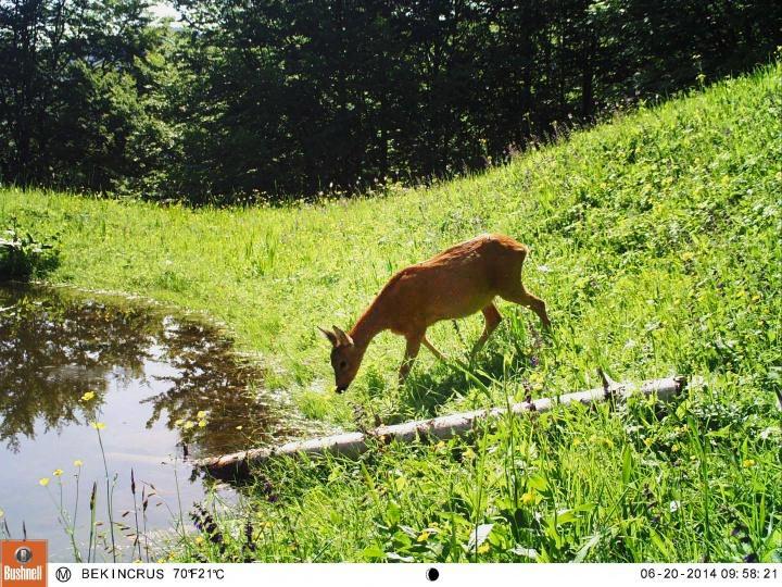 bushnell deer image