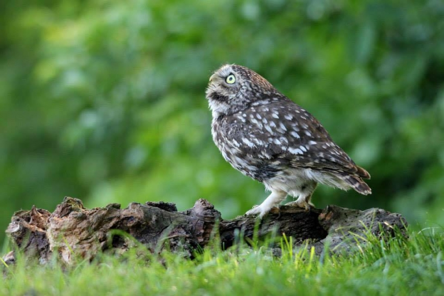 little Owl | gardenature.co.uk