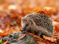 Bonfire night and Hedgehog safety