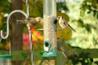 Sunflower Hearts attract the Goldfinches