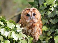 Tawny Owl reporting