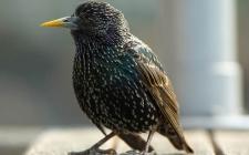 starling gardenature.co.uk