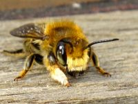 The Solitary Bee Project