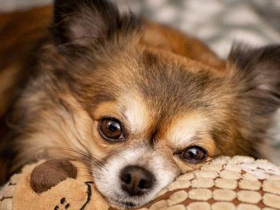 Race à l'honneur: Chihuahua