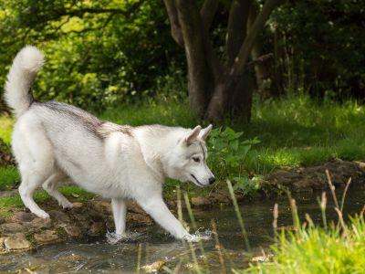 Ras in de kijker: Siberische Husky