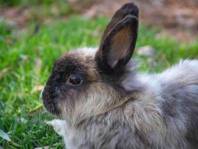 Prendre soin d'un lapin âgé