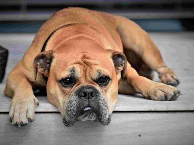 Ziekte van Lyme bij honden