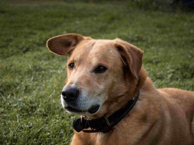 Comment nettoyez les oreilles de votre chien?