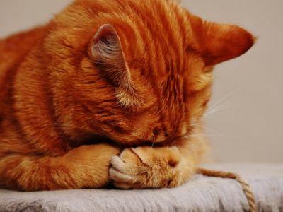 Mon chat souffre d'une insuffisance rénale chronique, que faire ?