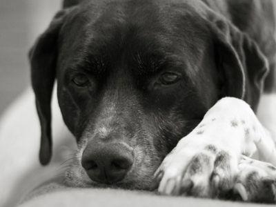 La dermatite chez le chien