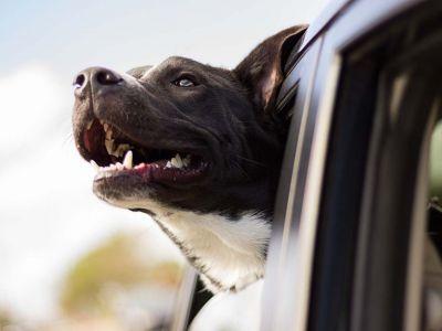 Soulager le mal des transports de l'animal