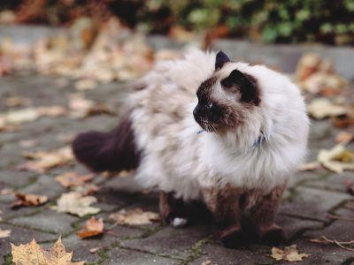 Le chat Sacré de Birmanie