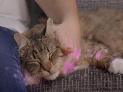 La phéromone féline faciale du chat