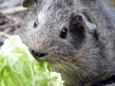 Vitamin C Mangel bei Meerschweinchen