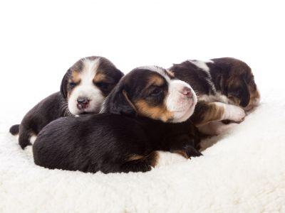 Een nestje pups op komst: de bevalling