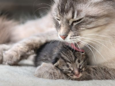 Een nestje kittens op komst: de bevalling
