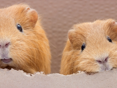 9 Checks for when you're buying a guinea pig
