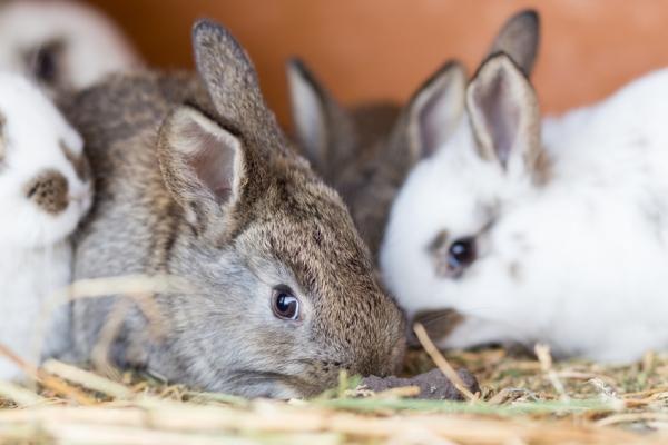 Landelijke sterfte onder konijnen door virusziekte VHD (ookwel VHS of RHD genoemd)