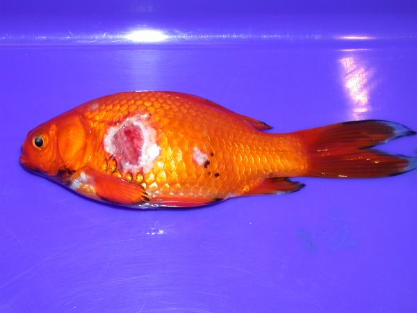 Example of a fish suffering from a severe ulcer