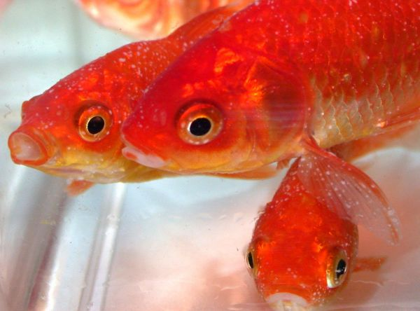 Example of goldfish suffering from white spot