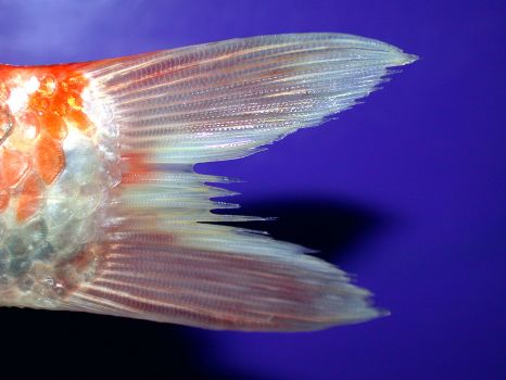 Example of Fin Rot in fish