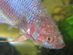 Example of Velvet on a fish
